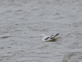 Ross's Gull  - Vlissingen - 2018-01-28 - 17 copy PBase