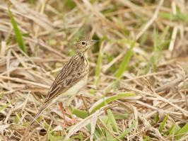 Yellowish Pipit - Itatiaia - 2015-08-28 - 10 copy PBase