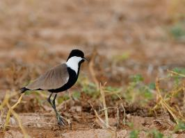 Spur-winged Plover - Yotvata - 2014-03-26 - 01 copy PBase