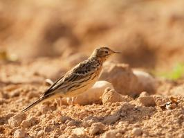 Red-throated Pipit - Yotvata - 2014-03-27 - 06 copy PBase