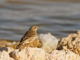 Water Pipit - Eilat - 2014-03-26 - 02 copy PBase