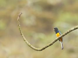 Surucua Trogon - Pirai - 2015-08-28 - 02 copy PBase