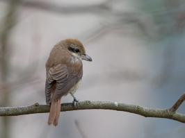 Brown Shrike - Den Helder - 2017-02-20 - 10 copy PBase