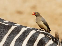 Red-billed Oxpecker - Mkuze - 2014-09-05 - 08 copy PBase Op de site zetten
