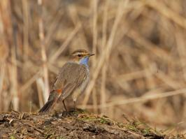 Bluethroat - Bodegraven - 2018-03-26 - 03 copy PBase