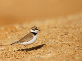 Little Ringed Plover - Eilat - 2014-03-26 - 01 copy PBase