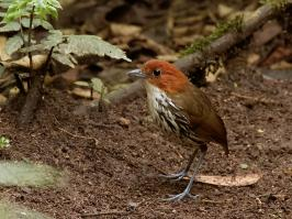Chestnut-crowned Antpitta - Rio Blanco - 2016-08-28 - 05 copy PBase