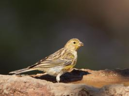 Atlantic Canary - Villaflor - 2017-07-01 - 01 copy PBase