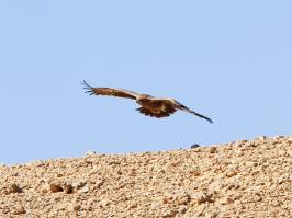 Steppe Eagle - Eilat - 2014-03-28 - 11 copy PBase