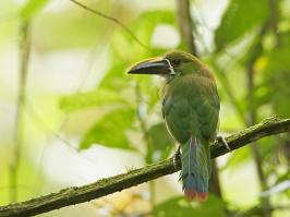 Emerald Toucanet - La Romera - 2016-08-25 - 08 copy PBase