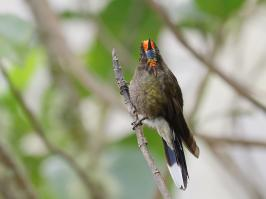 Rainbow-bearded Thornbill - Paramo del Ruiz - 2016-08-29 - 15 copy PBase