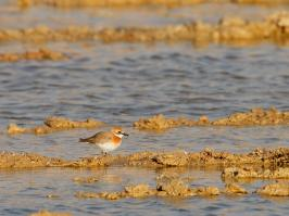 Greater Sand Plover - Eilat - 2014-03-27 - 03 copy PBase