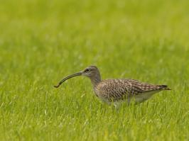 Eurasian Whimbrel - Oost - 2018-05-12 - 03 copy PBase
