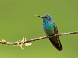 Green Violetear - Rio Blanco - 2016-08-28 - 02 copy PBase