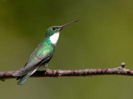 White-throated Hummingbird - Itatiaia - 2015-08-31 - 01 copy PBase