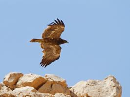 Steppe Eagle - Ne'ot Smadar - 2014-03-27 - 05 copy PBase