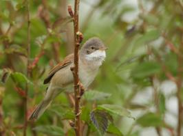 Common Whitethroat - Oost 2018-05-13 - 04 copy PBase