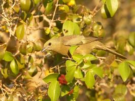 Yellow-chevroned Tanager - Chapada dos Guimaraes - 2015-09-02 - 01 copy PBase