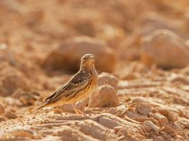 Red-throated Pipit - Yotvata - 2014-03-27 - 04 copy PBase