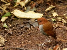 Bicolored Antpitta - Rio Blanco - 2016-08-28 - 02 copy PBase