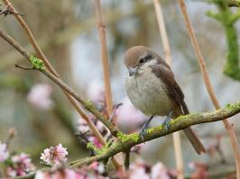 Brown Shrike - Den Helder - 2017-02-20 - 13 copy PBase