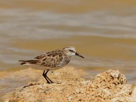 Little Stint - Eilat - 2014-03-26 - 03 copy PBase