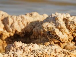 Water Pipit - Eilat - 2014-03-26 - 01 copy PBase