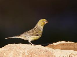 Atlantic Canary - Villaflor - 2017-07-01 - 05 copy PBase