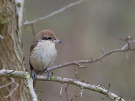 Brown Shrike - Den Helder - 2017-02-20 - 07 copy PBase