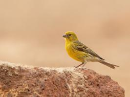 Atlantic Canary - Villaflor - 2017-06-24 - 04 copy PBase