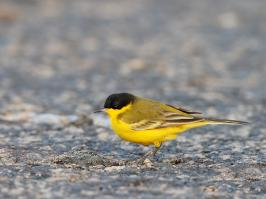 Black-headed Wagtail - Yotvata - 2014-03-26 - 05 copy PBase