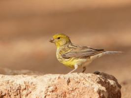 Atlantic Canary - Villaflor - 2017-06-28 - 06 copy PBase