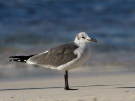 Laughing Gull - Playa del Carmen - 2013-11-24 - 01 copy PBase