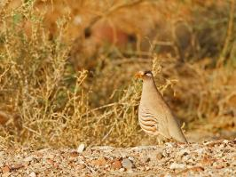 Sand Partridge - Eilat - 2014-03-29 - 01 copy PBase