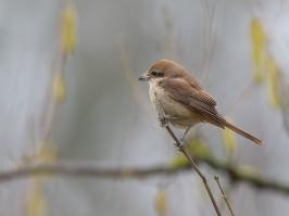 Brown Shrike - Den Helder - 2017-02-20 - 11 copy PBase