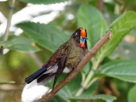 Rainbow-bearded Thornbill - Paramo del Ruiz - 2016-08-29 - 13 copy PBase