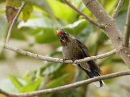 Rainbow-bearded Thornbill - Paramo del Ruiz - 2016-08-29 - 01 copy PBase