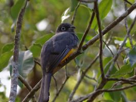 Black-headed Trogon - Coba - 2013-11-27 - 02 copy PBase