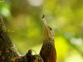 Straight-billed Woodcreeper - Rio Claro - 2016-08-24 - 06 copy PBase