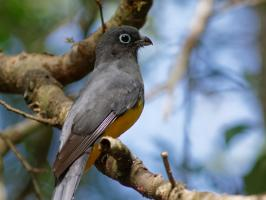Black-headed Trogon - Coba - 2013-11-27 - 07 copy PBase