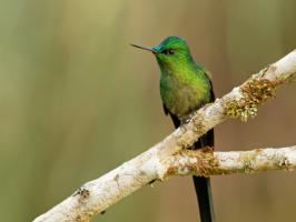 Long-tailed Sylph - Rio Blanco - 2016-08-27 - 15 copy PBase