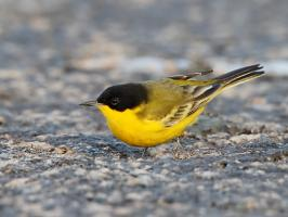 Black-headed Wagtail - Yotvata - 2014-03-26 - 07 copy PBase