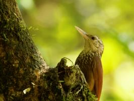Straight-billed Woodcreeper - Rio Claro - 2016-08-24 - 01 copy PBase