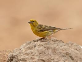 Atlantic Canary - Villaflor - 2017-06-24 - 03 copy PBase