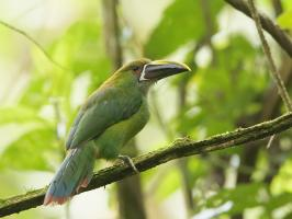 Emerald Toucanet - La Romera - 2016-08-25 - 04 copy PBase