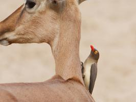 Red-billed Oxpecker - Mkuze - 2014-09-05 - 04 copy PBase Op de site zetten