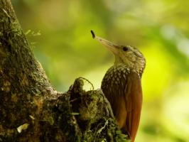 Straight-billed Woodcreeper - Rio Claro - 2016-08-24 - 04 copy PBase