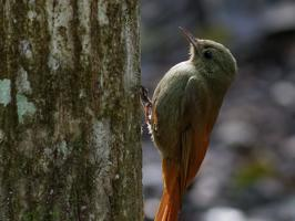 Tawny-winged Woodcreeper - Playa del Carmen - 2013-11-27 - 01 copy PBase