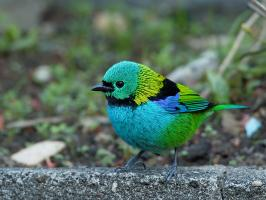 Green-headed Tanager - Itatiaia - 2015-08-29 - 02 copy PBase