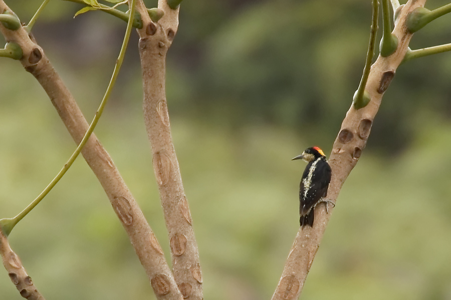 Beautiful Woodpecker - Bella Vista - 2016-08-22 - 02 copy PBase
